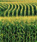 Corn field photo